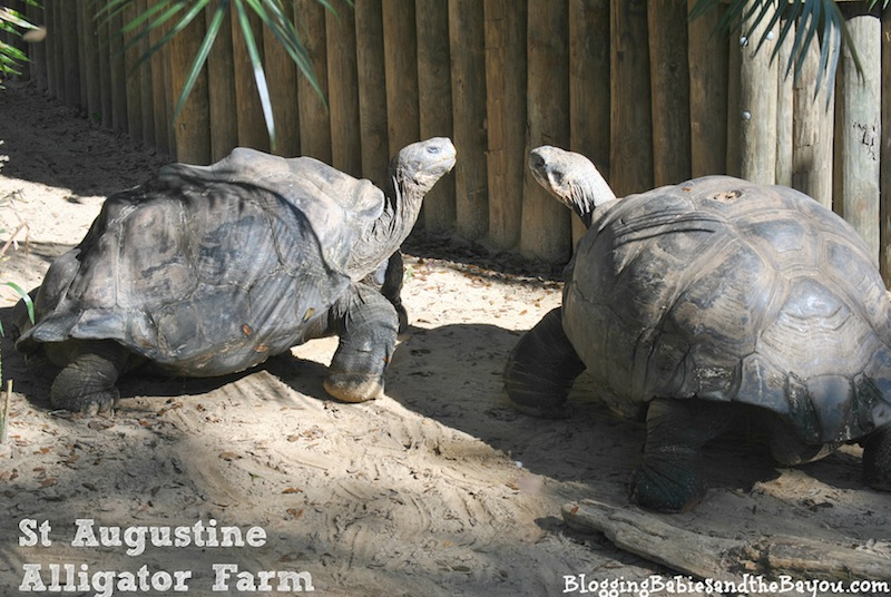 Family Attractions in St. Augustine - St Augustine Alligator Farm #BayouTravel