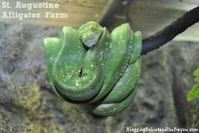 St Augustine Alligator Farm St. Augustine, Florida - Family Attractions #BayouTravel