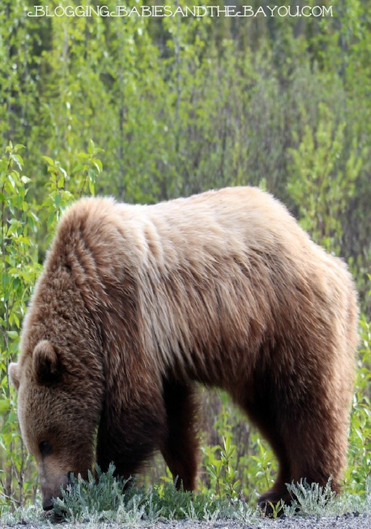 Regional Animals of  Alaska - Grizzly Bear