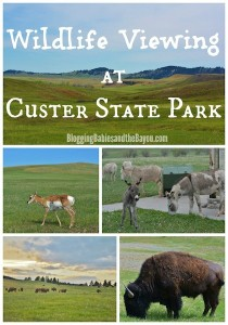 Visiting  South Dakota largest and first state park Wildlife viewing at Custer State Park #BayouTravel