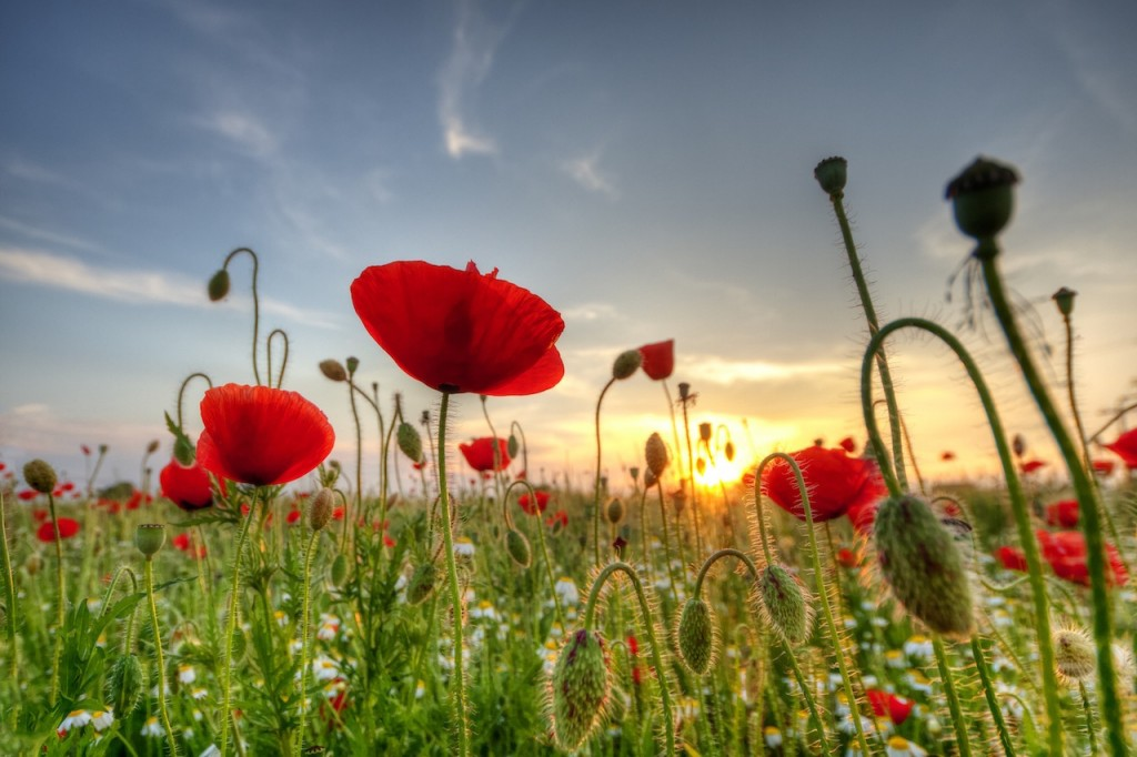 Field of poppies on a sunset in Romania - Amazing Worldwide  Sunsets #BayouTravel