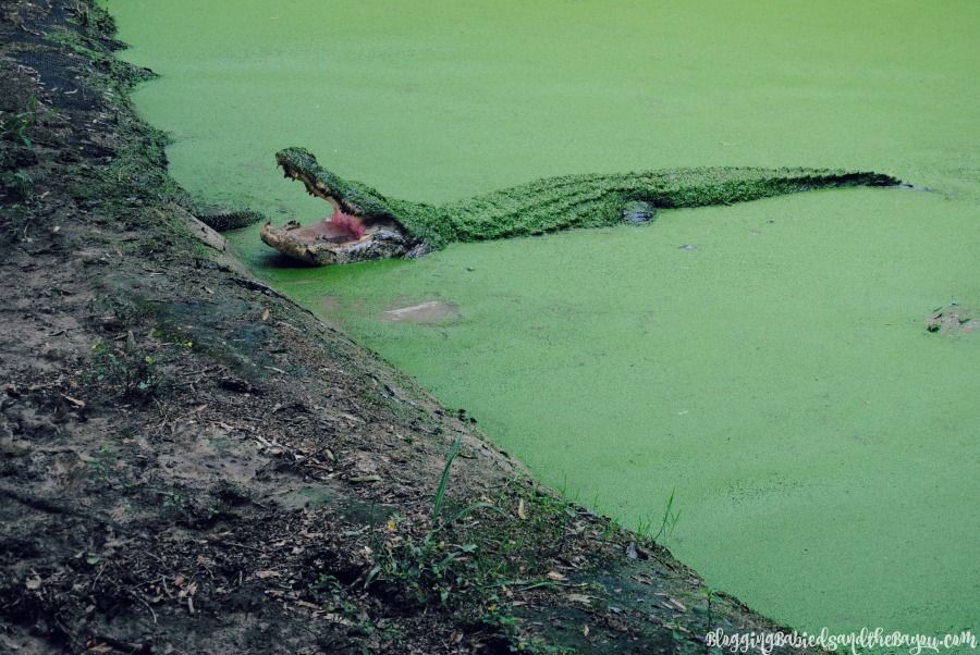 Kliebert's  Alligator & Turtle Farm -  Family Attractions In and Around the New Orleans Area